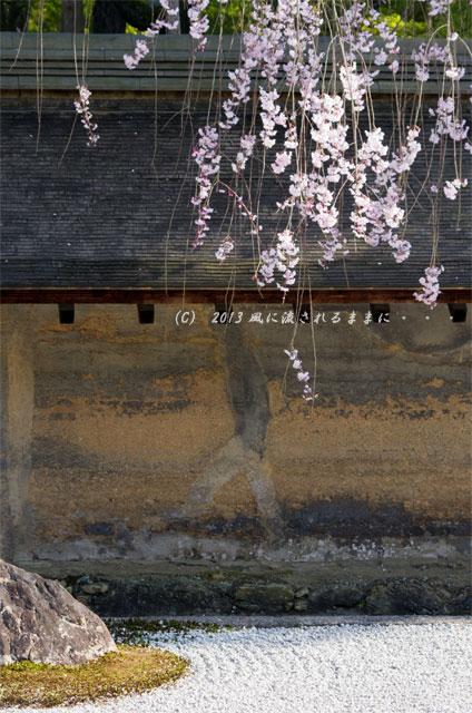 2013年 桜を探して・・・ 京都・龍安寺 石庭の枝垂れ桜5
