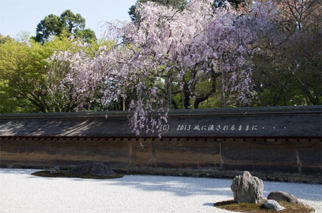 2013年 桜を探して・・・ 京都・龍安寺 石庭の枝垂れ桜6