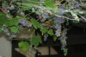 たくさんの葡萄