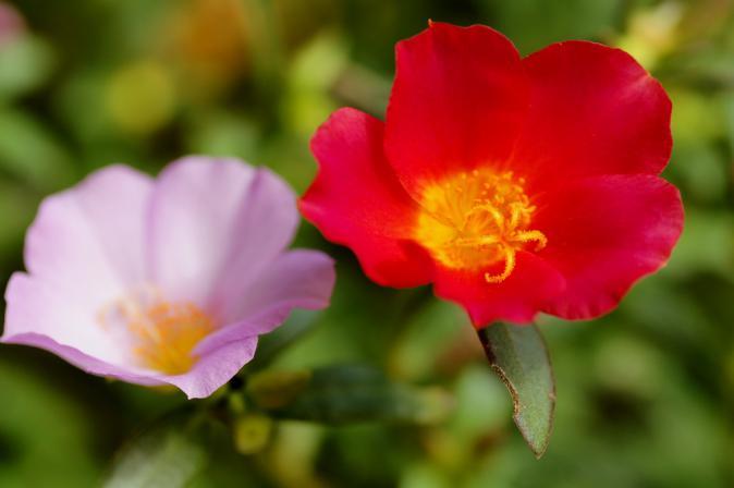 DSC00455三ッ池公園花畑
