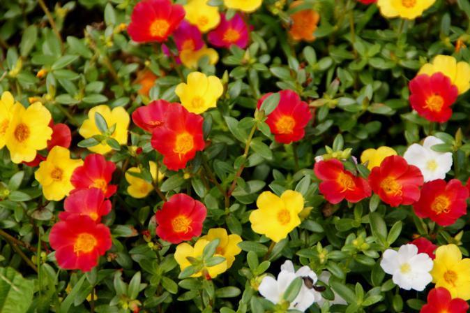 DSC00447三ッ池公園花畑