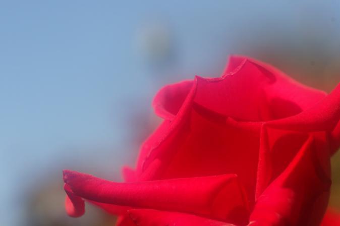DSC01361赤い薔薇