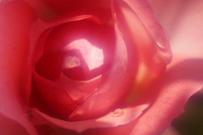 DSC01347赤い薔薇