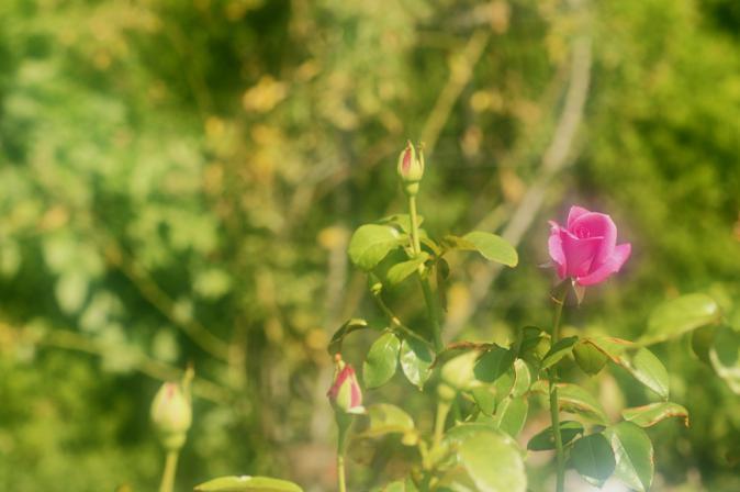 DSC01367ピンクの薔薇