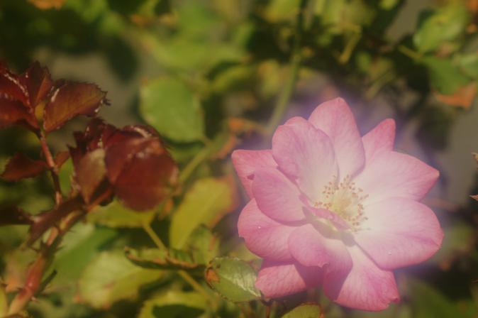 DSC01359ピンクの薔薇