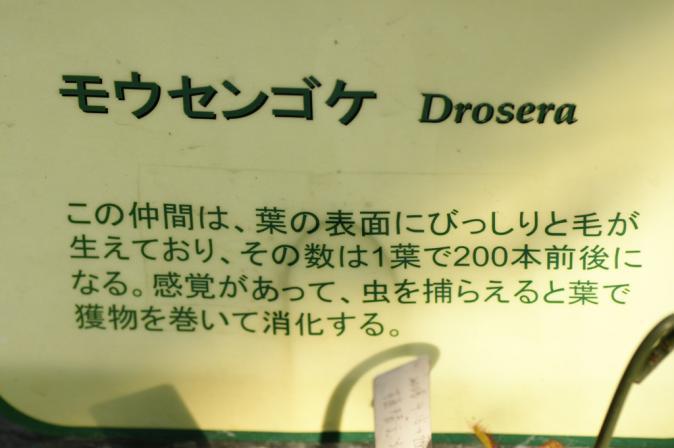 DSC01154モウセンゴケ