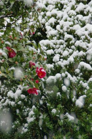 DSC06234雪椿