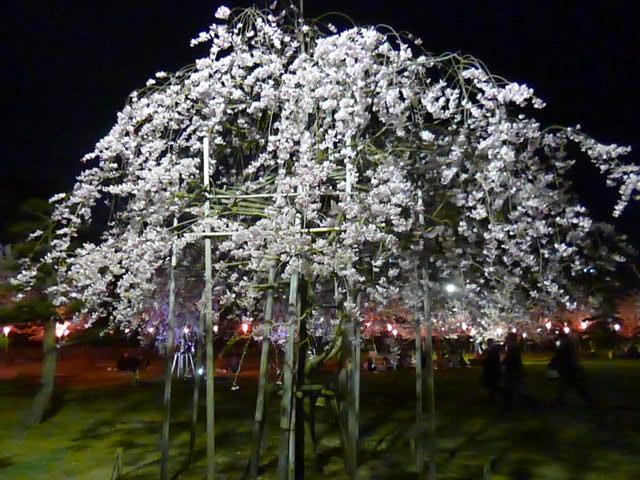桜の馬場の桜の中の桜