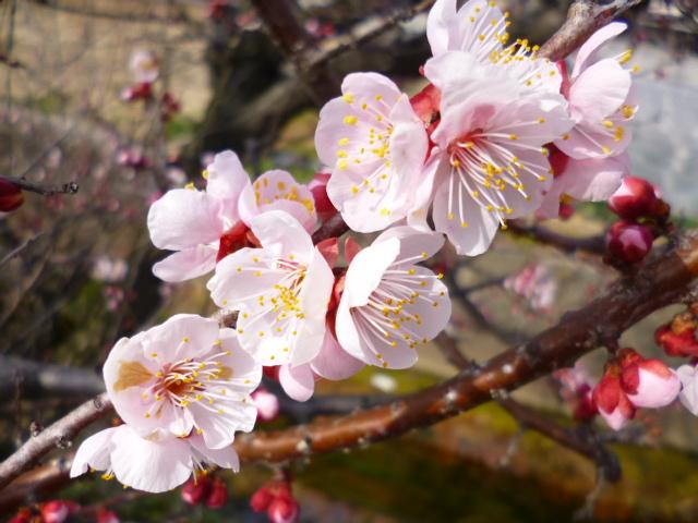 今年の桜は早いんですって