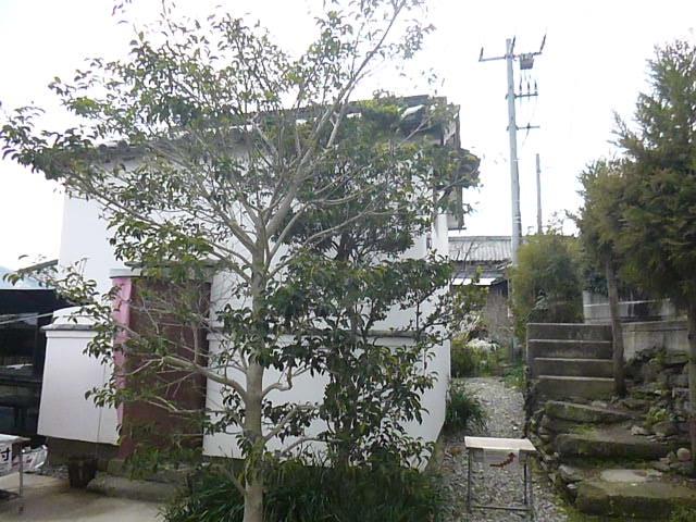 土蔵の前にはレモンの木が植えられています