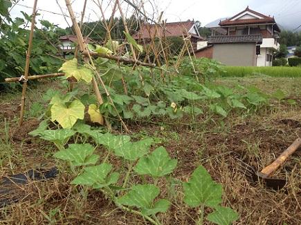 8282012かぼちゃ畑S3