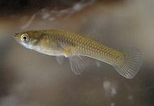 Gambusia_affinis female