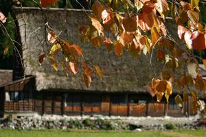 合掌造り&色づく木の葉