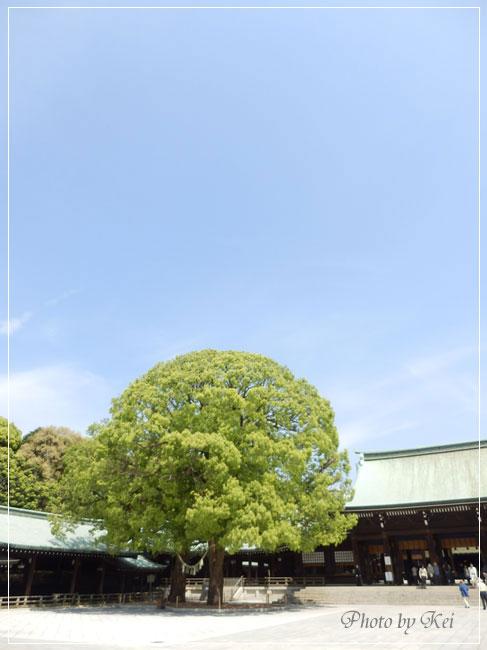 明治神宮本殿巨木♪