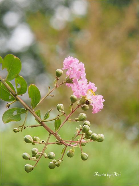 サルスベリのお花&実♪