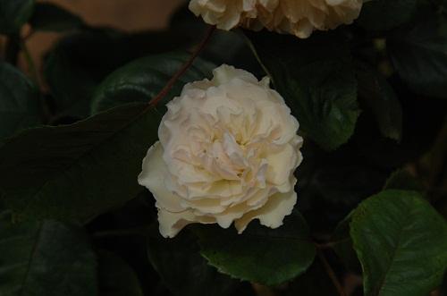 rosa en jardin 5