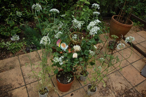 rosa en jardin 4