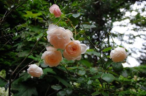 rosas especiales 3