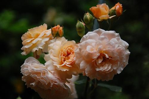 rosas especiales 2