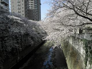 神田川の桜3