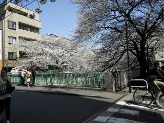 神田川の桜2