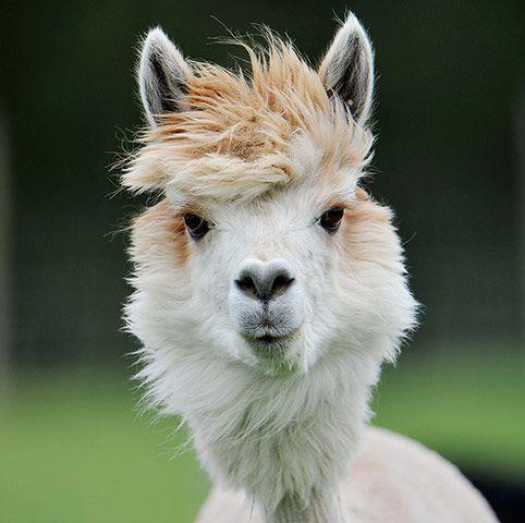 trimmed_alpaca02.jpg