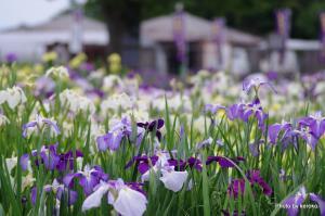 風車村花しょうぶ祭り1