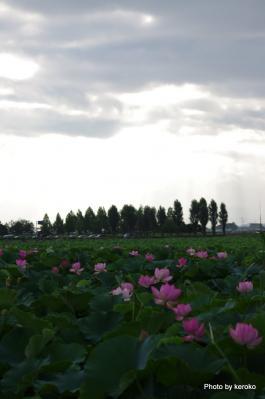 2012烏丸半島のハス2