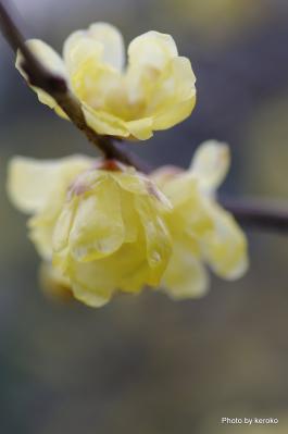 嵯峨野の蝋梅