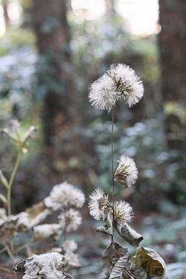 菊カシワバハグマ131203小峰公園 (2)S済