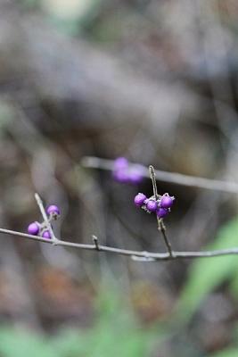 ヤブムラサキ131212高尾山 (3)S済