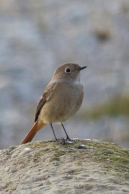 鳥ジョウビタキ♀131217多摩川昭島 (83)T済、S済