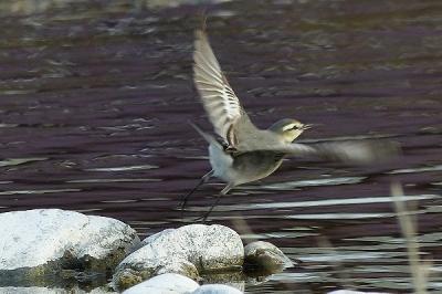 鳥ハクセキレイ131217多摩川昭島 (3)T済、S済