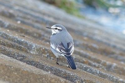 鳥ハクセキレイ131217多摩川昭島 (12)T済、S済