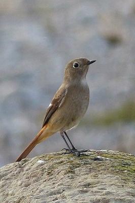 鳥ジョウビタキ♀131217多摩川昭島 (4)T済、S済