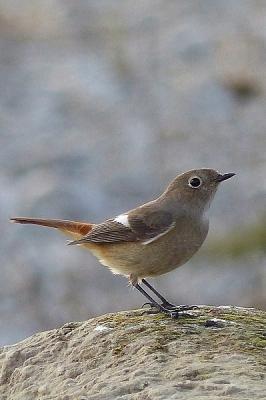 鳥ジョウビタキ♀131217多摩川昭島 (5)T済、S済