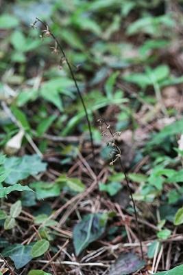 蘭ヒトツボクロ130606高尾山 (48)S済