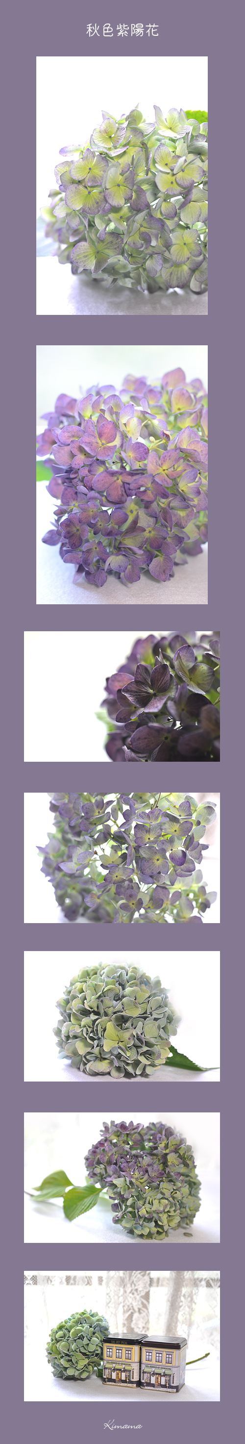 9月22日秋色紫陽花