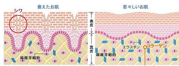 皮膚の内部