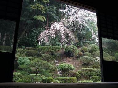 医光寺の枝垂桜(修理前)