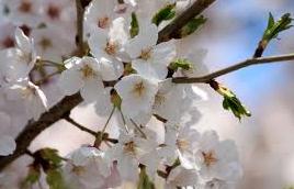 20130401桜