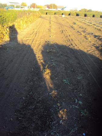 麦の種蒔き