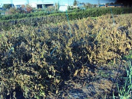枯れた大豆畑