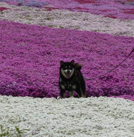 花ひろば 芝桜