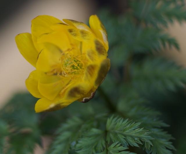 八重咲き福寿草