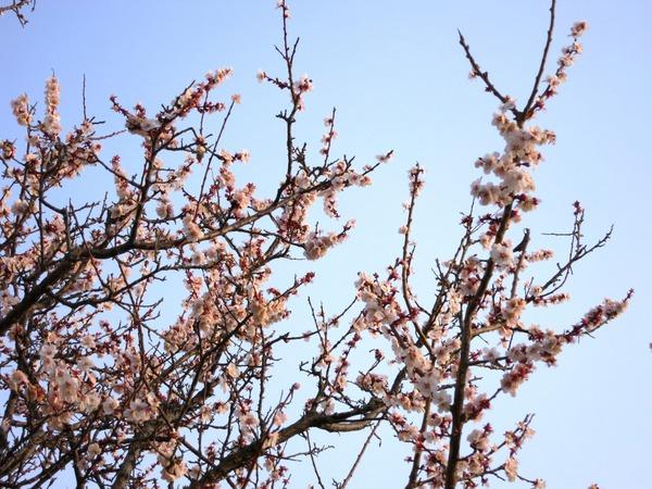 桜13.3.16