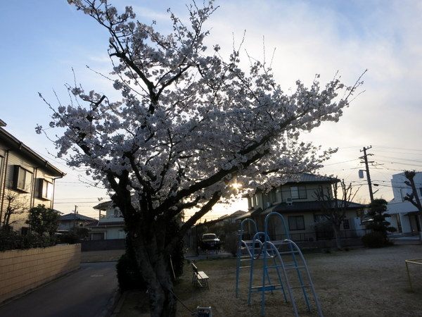 桜13.4.1①
