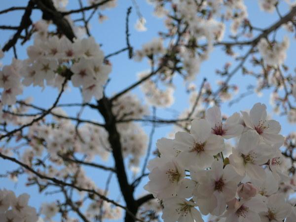 桜13.4.1②