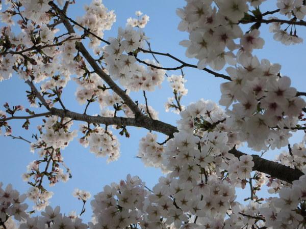 桜13.4.1③