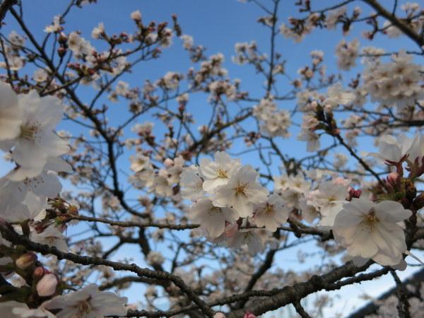 桜13.4.1④
